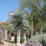 Specimen Yucca with Verbena groundcover   2010 Xeriscape Award