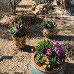 Snap dragons, pansies, and petunias bring bold colors to a winter desert landscape.