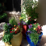 Summer Pots in Tucson