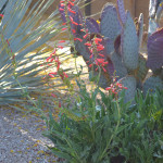 Pink Penstemon complements Prickly Pear